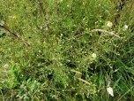 White Heath Aster (Symphyotrichum pilosum)