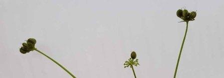 Golden Alexanders (Zizia trifoliata) Fruit