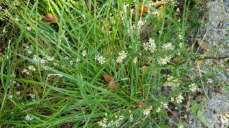 White Heath Aster (Symphyotrichum pilosum)