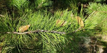 Virginia Pine; Scrub Pine (Pinus virginiana) - 2 twisty needles