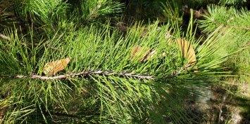 Virginia Pine; Scrub Pine (Pinus virginiana) - 2 twisty needles