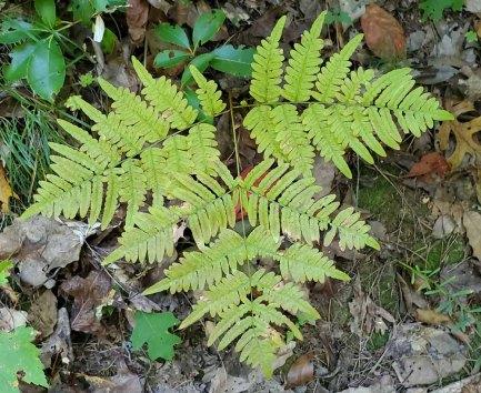 Bracken Fern (Pteridium aquilinum)