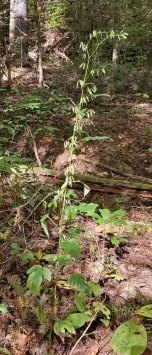 a Rattlesnake Root (Prenanthes sp.)