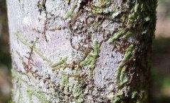 Possibly a Cheilolejeunea (Ex. Leucolejeunea) Liverwort