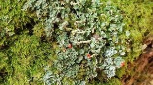 Moss, Lichen, British Soldiers