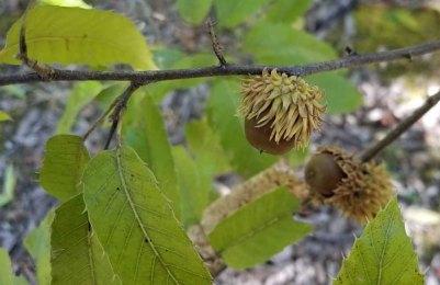 Sawtooth Oak (Quercus acutissima) Acorn