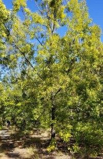 Quercus acutissima* (Sawtooth Oak)