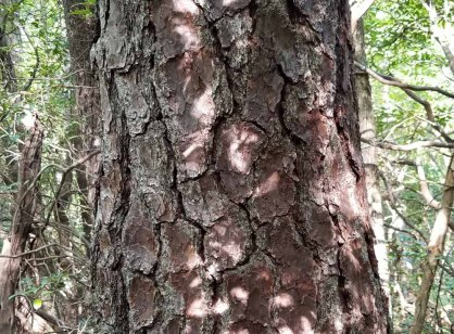 Unknown Pine Tree Bark