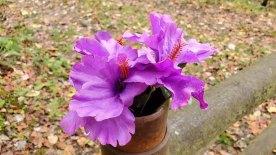 Probably Hibiscus plasticus