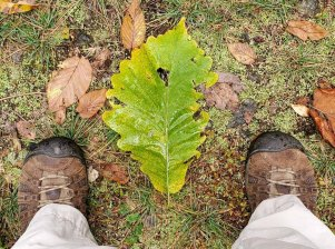 Giant Chestnut Oak Leaf (Quercus montana)
