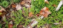 Fan Club Moss (Lycopodium digitatum) & Running Club Moss (Lycopodium clavatum)