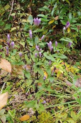 Stiff Gentian (Gentianella quinquefolia) Plant