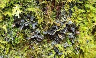 Felt Tripe (Peltigera sp)