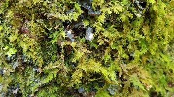 Fern Moss (Thuidium sp.) and Felt Tripe (Peltigera sp.)