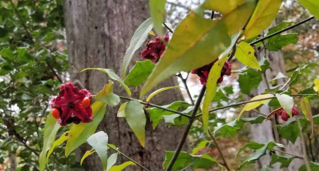 Hearts-a-bustin' (Euonymus americanus) Fruit