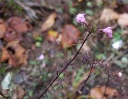 a Gerardia (Agalinis sp)
