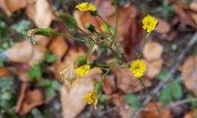 a Hawkweed (Hieracium sp.)