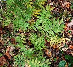 Small-flowered Agrimony (Agrimonia parviflora)