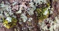 a Crisped Moss (Ulota sp.)