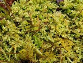 a Feather Moss (Hypnum sp.)