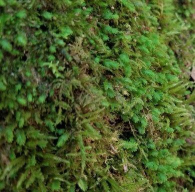 a Flat Fork Moss (Fissidens sp.)