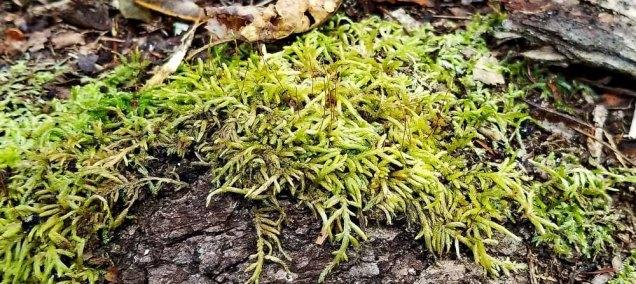 a Glaze Moss (Entodon sp.)