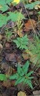 a Grape Fern (Botrychium sp.)