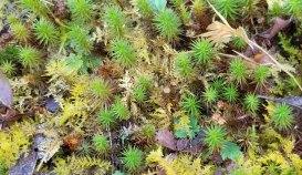 a Haircap Moss (Polytrichum sp.) Males & Females
