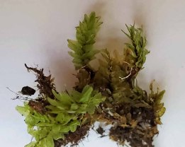 a Mnium Moss