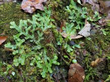 a Skin Liverwort (Conocephalum sp.)