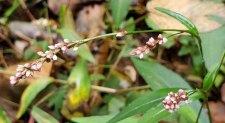 a Smartweed (Persicaria sp.)