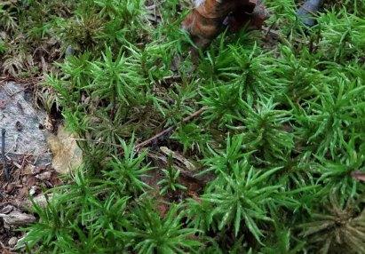 a Tree Moss (Climacium sp)
