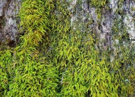 Apron Moss (Anomodon sp.)