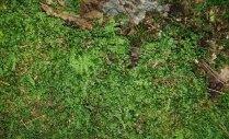 Baby Tooth Moss (Plagiomnium cuspidatum)