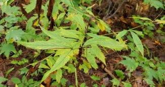 Bowman's Root; Fawn's Breath (Gillenia trifoliata)