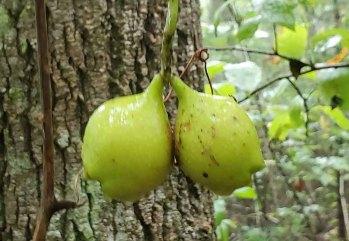 Buffalo Nut (Pyrularia pubera) Nuts