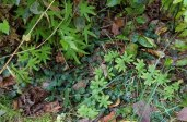 Climbing Fern (Lygodium palmatum)