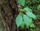 Woodvamp (Decumaria barbara,)