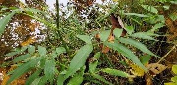 Cowbane (Oxypolis rigidior) Leaves