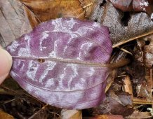 Cranefly Orchid (Tipularia discolor) Underside of Leaf