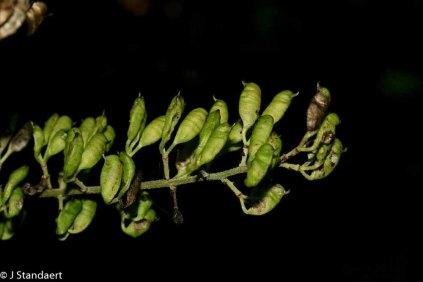 Mountain Bugbane (Actaea podocarpa)