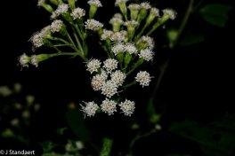 Ageratina altissima var. altissima (White Snakeroot)