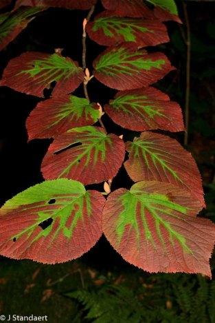 Hobble-bush (Viburnum lantanoides)