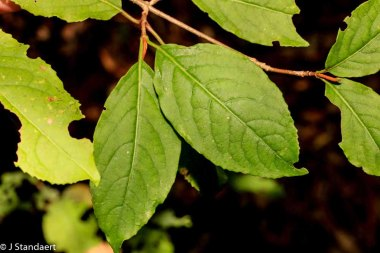 Withe-rod (Viburnum nudum var. cassinoides)