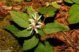 Possibly Mountain Wood-aster (Eurybia chlorolepis)