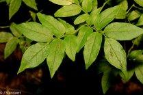 Southern Mountain-cranberry (Vaccinium erythrocarpum)