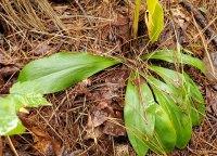 Fairy Wand; Devil's Bit; Blazing Star (Chamaelirium luteum) Basal Leaves