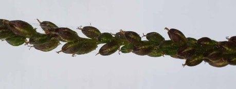 Fairy Wand; Devil's Bit; Blazing Star (Chamaelirium luteum) Fruit
