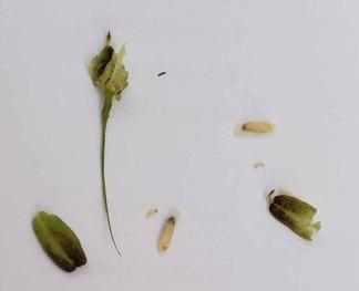 Fairy Wand; Devil's Bit; Blazing Star (Chamaelirium luteum) Seeds