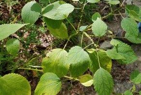 False Nettle (Boehmeria cylindrica)